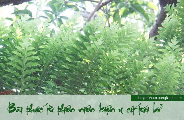 Chữa đau nhức xương khớp bằng cây thiên niên kiện và cốt toái bổ