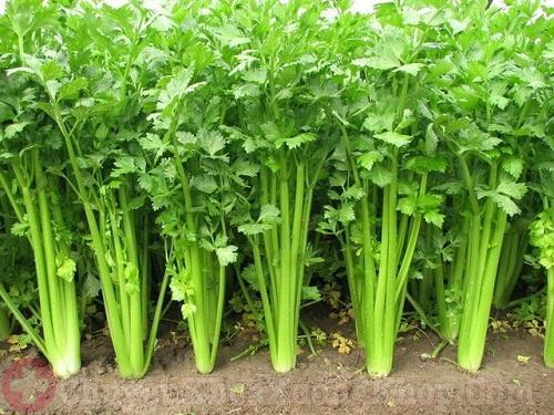 Chữa bệnh phong thấp bằng cây cần tây