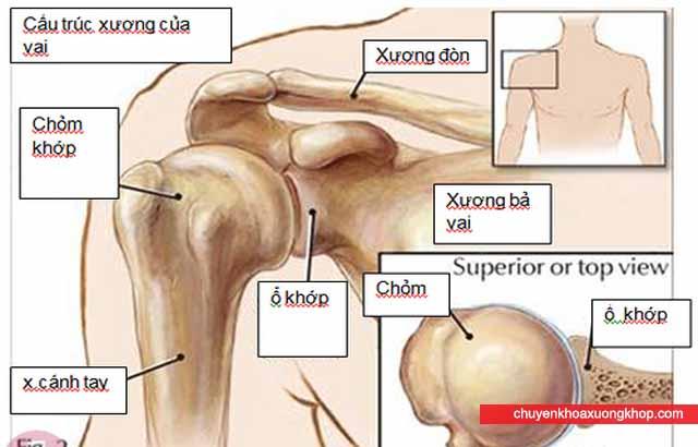 cấu trúc giải phẫu của khớp vai