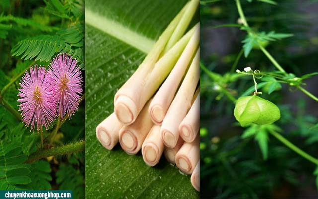 Bài thuốc chữa viêm khớp bằng cây trinh nữ